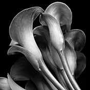 Printed Art Botanical Floral Lilies by Michael Harrison
